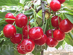 Саженцы Вишни Балатон (Уйфегертой Фюртош)(самоплодный,вкус отличный)