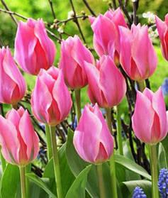 Тюльпан Гибрид Фостера Albert Heijn 10/11 розовый