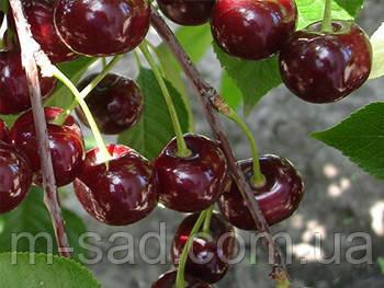 Вишня  Ксения(крупный,скороплодный)