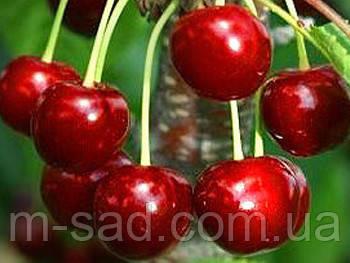 Саженцы вишни  Мелитопольский(ранний срок созревания,крупный)