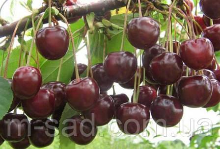 Саженцы Вишни Норд Стар(поздний,слаборослый,скороплодный, фото 2