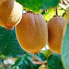 Саженцы Киви Соло - средний, самоплодный, морозостойкий, фото 4