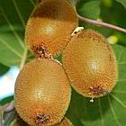 Саженцы Киви Соло - средний, самоплодный, морозостойкий, фото 5