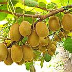 Саженцы Киви Хейворд - самоплодный, крупноплодный, высоко морозоустойчивый, фото 4