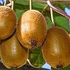 Саженцы Киви Хейворд - самоплодный, крупноплодный, высоко морозоустойчивый, фото 3