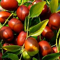 Саженцы Зизифуса, унаби (сеянец) - сладкий, урожайный, неприхотливый (унаби, финика, жужуба)
