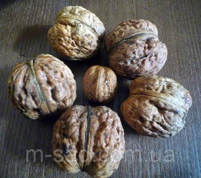 Саженцы грецкого ореха Буковинская Бомба (однолетний)