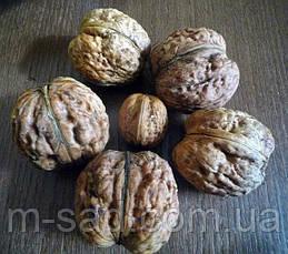 Саженцы грецкого ореха Буковинская Бомба (двухлетний), фото 2