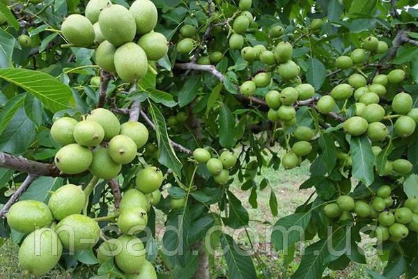 Саженцы Грецкого ореха Идеал(однолетний)скороплодный