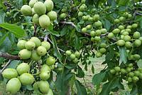 Саженцы Грецкого ореха Идеал(однолетний)скороплодный,низкий