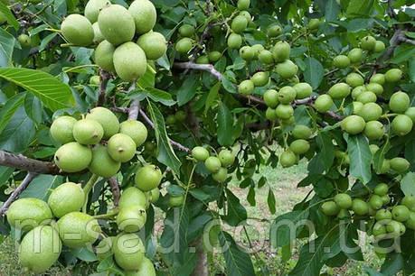 Саженцы Грецкого ореха Идеал(однолетний)скороплодный, фото 2