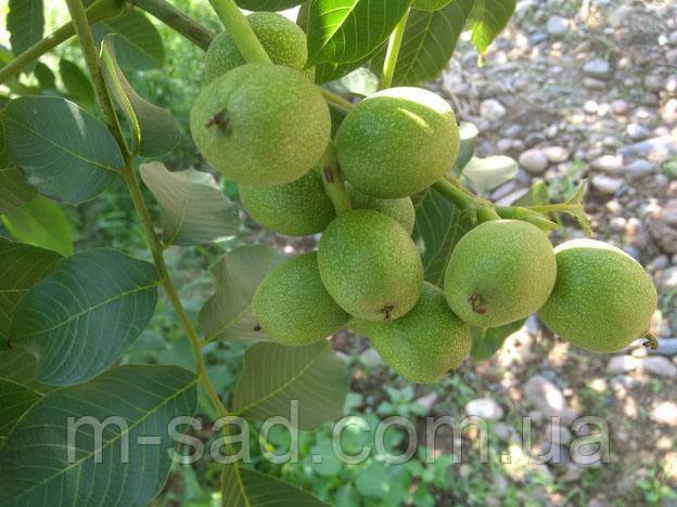 Грецкий орех Кочерженко (однолетний)