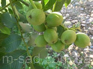 Грецкий орех Кочерженко (однолетний), фото 2