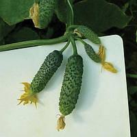 Семена огурца-корнишона Нибори (KS 90) F1(Kitano) 500c
