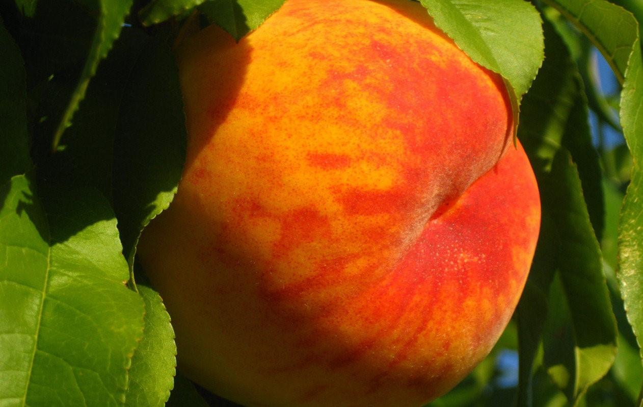 """Саджанець персика """"Твард Твардив"""""""