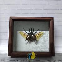 Сувенир - Жук в рамке Chalcosoma atlas. Оригинальный и неповторимый подарок!