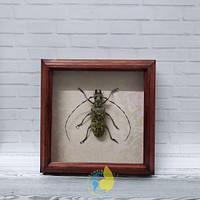 Сувенир - Жук в рамке Pseudomeges marmoratus f. Оригинальный и неповторимый подарок!