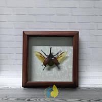 Сувенир - Жук в рамке Xylotrupes gideon. Оригинальный и неповторимый подарок!