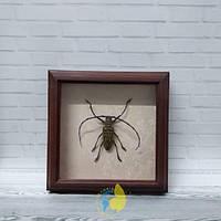 Сувенир - Жук в рамке Batocera wallacei  f. Оригинальный и неповторимый подарок!