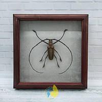 Сувенир - Жук в рамке Batocera wallacei proserpina m. Оригинальный и неповторимый подарок!