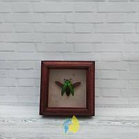 Сувенир - Жук в рамке Callopistus castelnaudii. Оригинальный и неповторимый подарок!