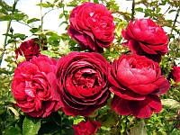 Саженец Роза английская Король Артур (King Arthur) 6 шт