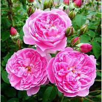Саженец Роза английская Мерлин (Merlin) 6 шт