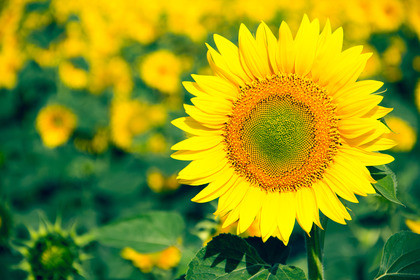 Насіння соняшника Український скоростиглий