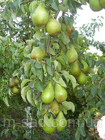 Саженцы Грушы Рикс(зимост,скороплодный,самоплодный), фото 2