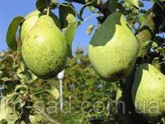 Груша Роси Буковыны(скороплідний,великий,урожайний