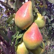 Груша Яблунівська(скороплідний,високоврожайний середньоранній)