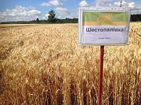 Насіння озимої пшениці Шестопалівка  (еліта)