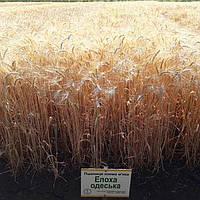 Эпоха Одесская озимая пшеница