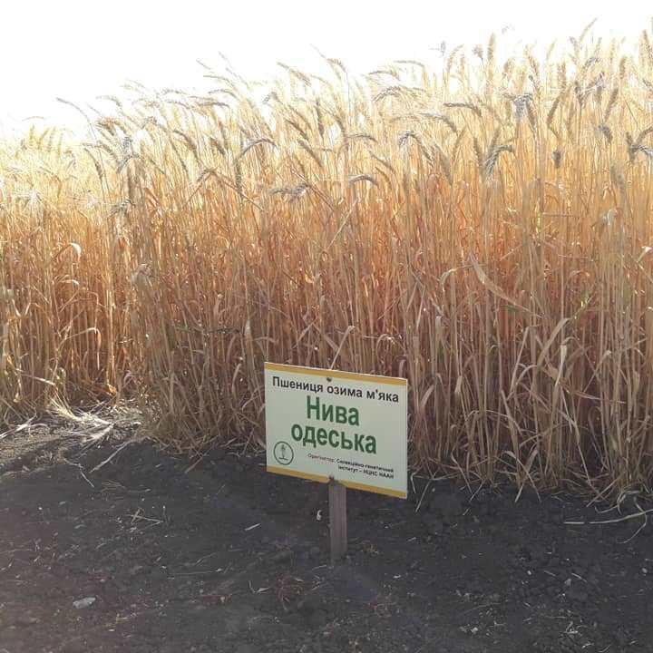 Нива Одесская семена пшеницы озимой