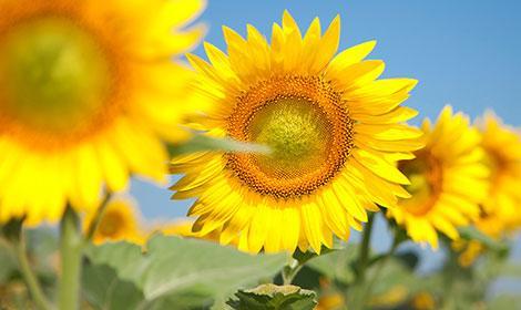Насіння соняшника Сонячний настрій фракція екстра