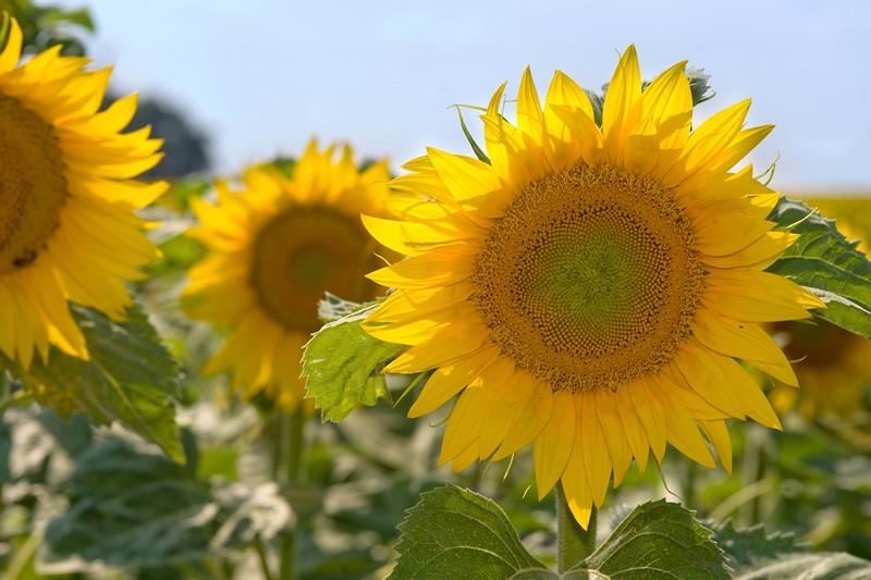 Насіння соняшника Шенон фракція екстра