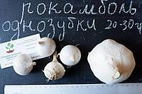 Рокамболь испанский однозубки 20-30 грамм(10 штук) (слоновий чеснок семена) лук-чеснок, насіння часнику