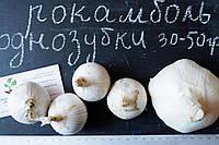 Рокамболь испанский однозубки 30-50 грамм(10 штук) (слоновий чеснок семена) лук-чеснок, насіння часнику, фото 1