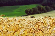 Семена Озимой Пшеницы, Краснодарская Селекция (РОССИЯ)