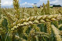 Озимая пшеница, Краснодарская Селекция, ГРОМ, Элита