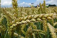 Озимая пшеница, Краснодарская Селекция, ГРОМ, 1 репродукция