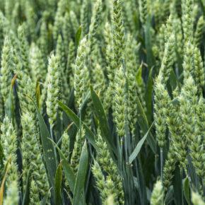 Насіння озимої пшениці Тацітус (1 репродукція)