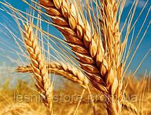 Озимая пшеница, Краснодарская Селекция, ТАНЯ (Оградская), Элита