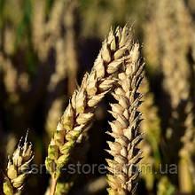 Озимая пшеница, Краснодарская Селекция, ЕРМАК, Элита