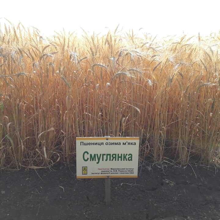 Пшениця сорт Смуглянка