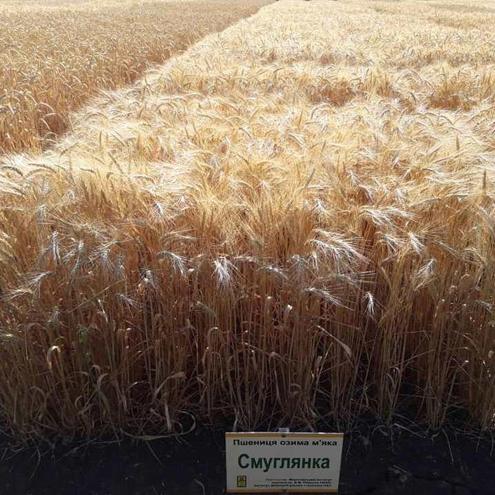 Озимая пшеница Смуглянка
