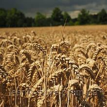Озимая пшеница, Краснодарская Селекция, АЛЕКСЕЕВИЧ, Элита