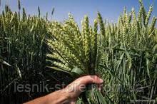 Озимая пшеница, Краснодарская Селекция, СТАНИЧНАЯ, Элита