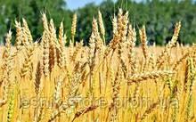 Озимая пшеница, Краснодарская Селекция, БЕЗОСТАЯ 100, Элита