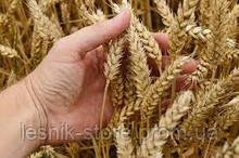 Озимая пшеница, Краснодарская Селекция, ЮБИЛЕЙНАЯ 100, Элита